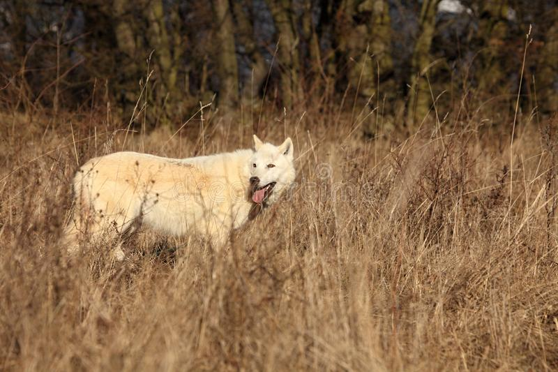 An Arctic Wolf Canis lupus arctos staying in wet grass in front of the forest royalty free stock photos