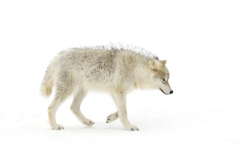 A lone arctic wolf (Canis lupus arctos) isolated on white background walking in winter snow in Canada stock photography