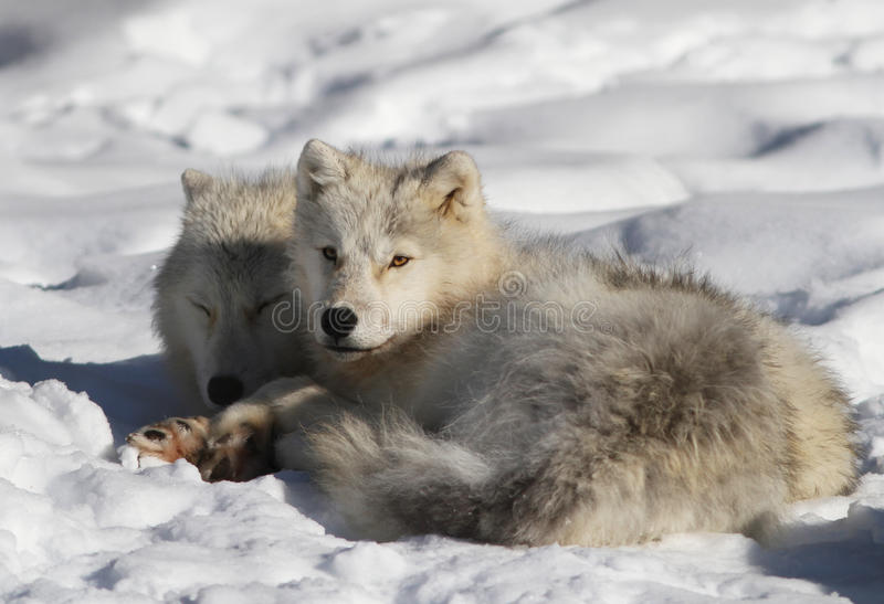 Download Arctic wolf couple. stock image. Image of look, forest - 23060485