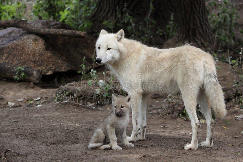 Arctic wolf family royalty free stock photos