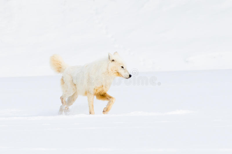 Arctic wolf hunting for prey stock photography