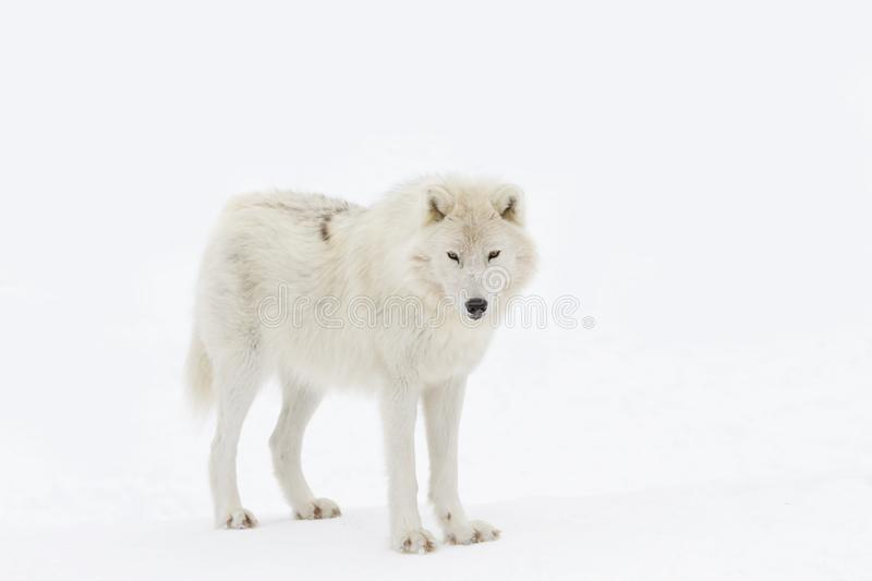 An Arctic wolf isolated on white background walking in the winter snow in Canada. Arctic wolf isolated on white background walking in the winter snow in Canada royalty free stock photo