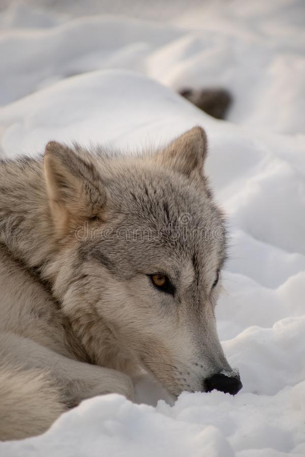 An Arctic Wolf laying in the snow while watching the forest stock images