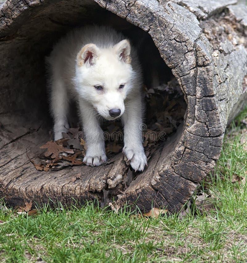 Free Arctic Wolf Pup Stock Photo - 31134520