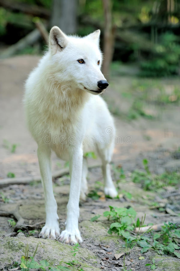 Download Arctic wolf puppy stock image. Image of natural, frightening - 26116609