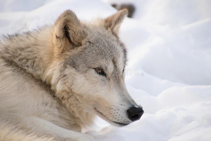 An Arctic Wolf resting in the snow with sunlight shining on it`s fur royalty free stock images
