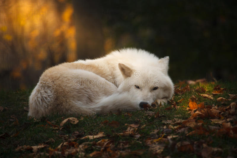 Arctic wolf. Is sleeping in forest stock images