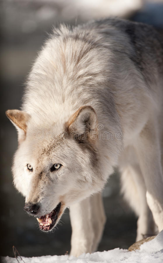 Arctic Wolf Snarling royalty free stock images