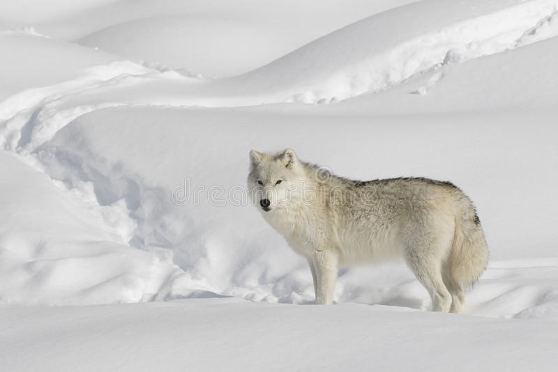 A lone Arctic wolf Canis lupus arctos isolated on white background walking in the winter snow in Canada stock image