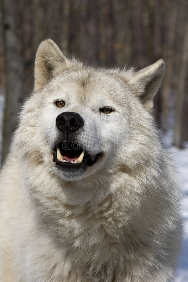 Arctic Wolf V. Arctic Wolf (Canis lupus arctos) frontal portrait in snow stock photos