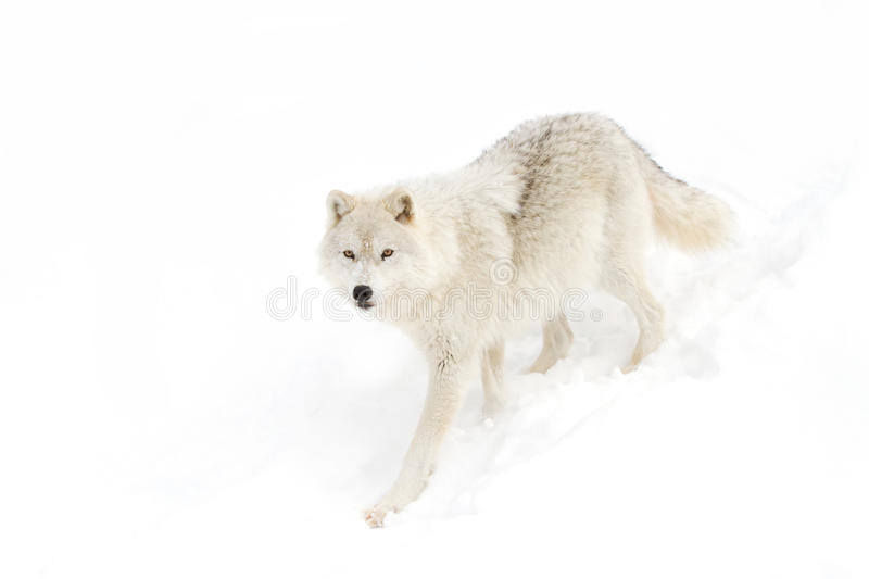 A lone Arctic wolf (Canis lupus arctos) isolated on white background walking in the winter snow in Canada stock image