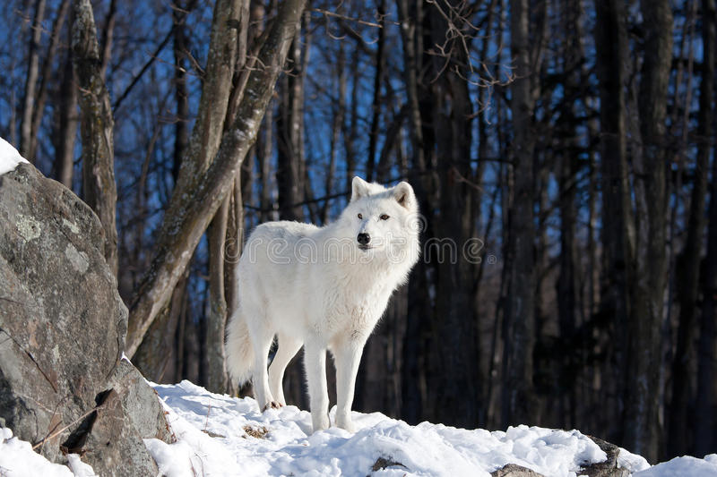 A lone Arctic wolf (Canis lupus arctos) walking in the winter snow in Canada royalty free stock photo