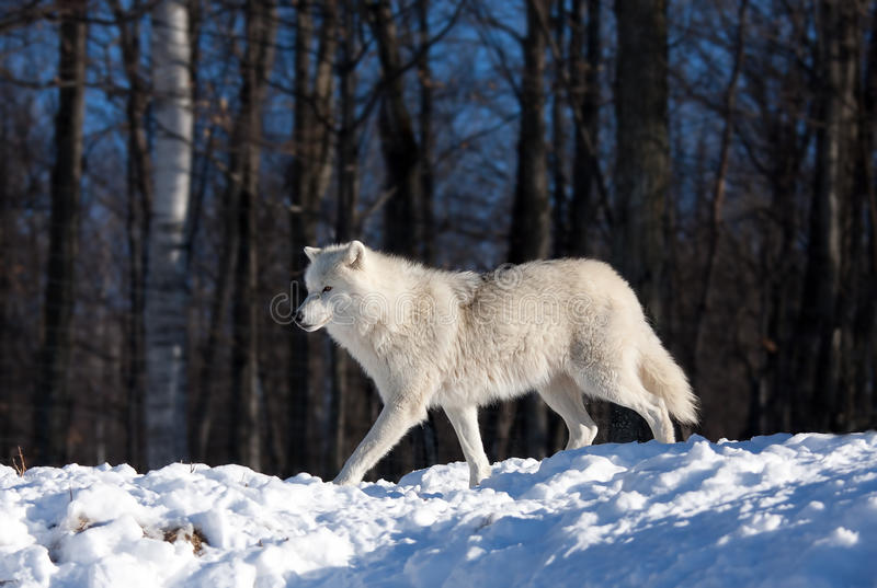 A lone Arctic wolf Canis lupus arctos walking in winter snow in Canada stock photography