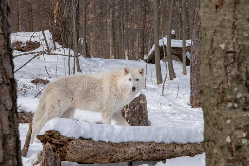 An Arctic Wolf looking directly at me in the woods royalty free stock images