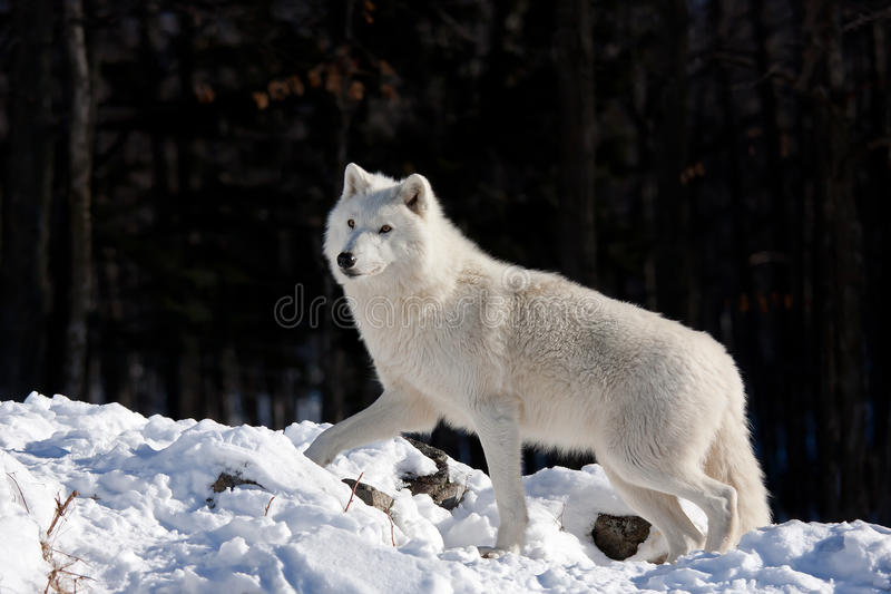 A lone Arctic wolf (Canis lupus arctos) walking through the snow in winter in Canada royalty free stock images