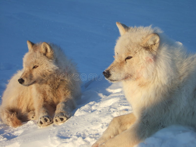 Arctic wolfs. Shot was taken in the canadian arctic stock photography