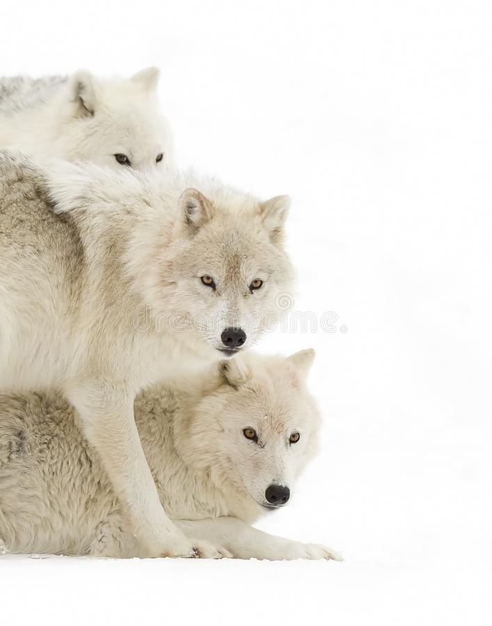 Arctic wolves Canis lupus arctos isolated on white background playing in the winter snow in Canada royalty free stock photo