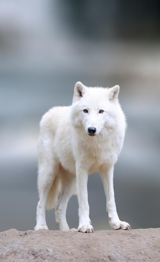 Arctic wolves in the winter royalty free stock photography