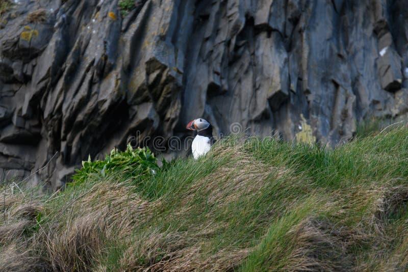 Arctica del Fratercula, frailecillo de Islandia fotos de archivo libres de regalías