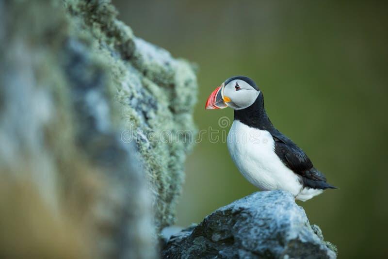 Arctica del Fratercula La fauna de Noruega Cuadro hermoso A partir de la vida de p?jaros Naturaleza libre Isla de Runde en Norueg imágenes de archivo libres de regalías