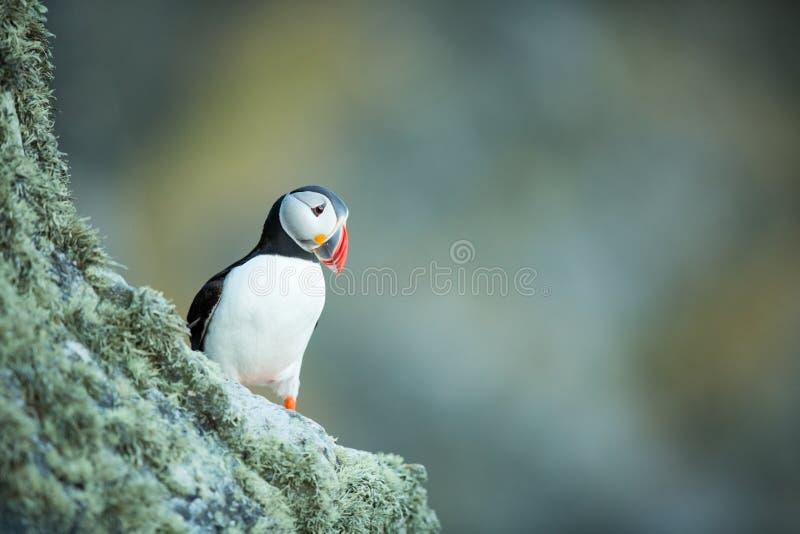 Arctica del Fratercula La fauna de Noruega Cuadro hermoso A partir de la vida de p?jaros Naturaleza libre Isla de Runde en Norueg foto de archivo libre de regalías