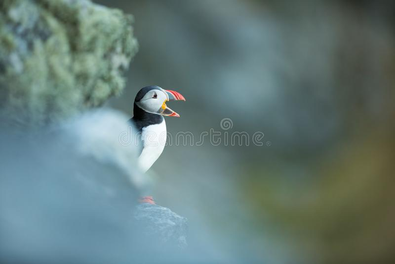 Arctica del Fratercula La fauna de Noruega Cuadro hermoso A partir de la vida de p?jaros Naturaleza libre Isla de Runde en Norueg fotografía de archivo