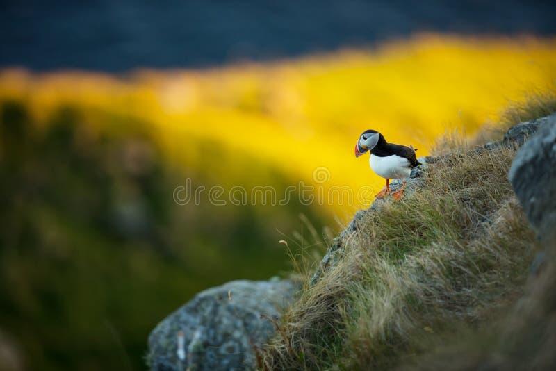 Arctica do Fratercula Os animais selvagens de Noruega Retrato bonito Da vida dos p?ssaros Natureza livre Ilha de Runde em Noruega imagens de stock