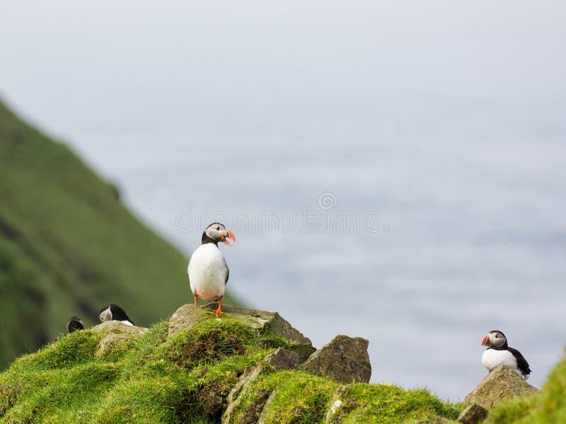Arctica do Fratercula puffins imagens de stock