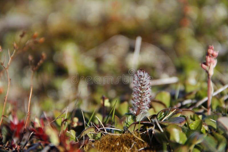 Arctica do salgueiro ártico ou do Salix encontrado na tundra ártica imagem de stock