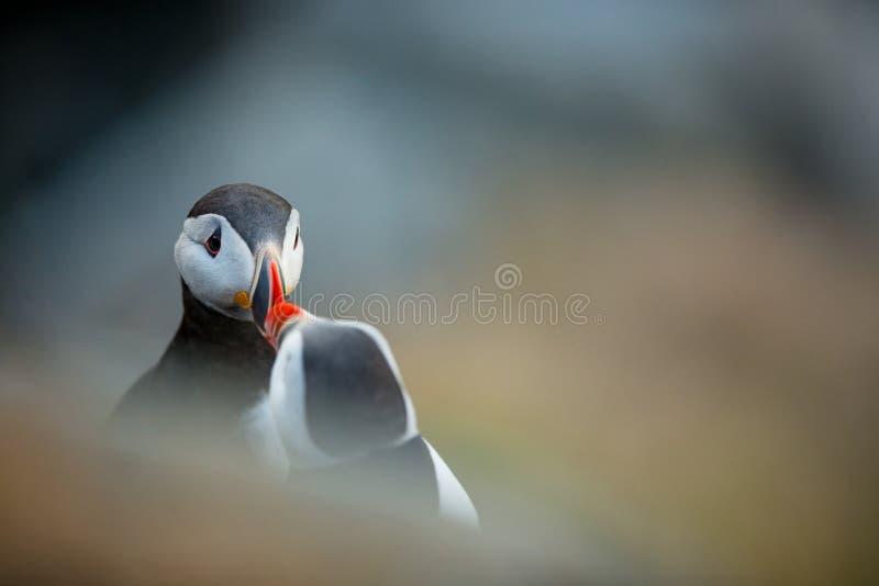 Arctica Fratercula Άγρια φύση της Νορβηγίας Όμορφη εικόνα Από τη ζωή των πουλιών Ελεύθερη φύση Νησί Runde στη Νορβηγία Sandinavia στοκ εικόνες με δικαίωμα ελεύθερης χρήσης