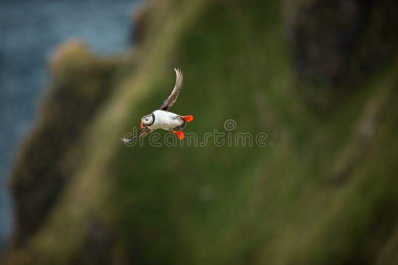 Arctica Fratercula Άγρια φύση της Νορβηγίας Όμορφη εικόνα Από τη ζωή των πουλιών Ελεύθερη φύση Νησί Runde στη Νορβηγία Sandinavia στοκ φωτογραφίες