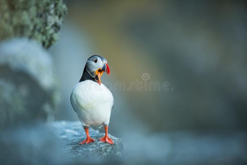 Arctica Fratercula Άγρια φύση της Νορβηγίας Όμορφη εικόνα Από τη ζωή των πουλιών Ελεύθερη φύση Νησί Runde στη Νορβηγία Sandinavia στοκ εικόνα
