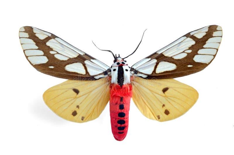arctiidae стоковое фото rf