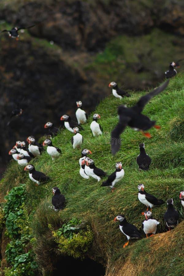 Arctis/de Atlantische zitting van de Papegaaiduikersgroep op de klip, IJSLAND royalty-vrije stock fotografie