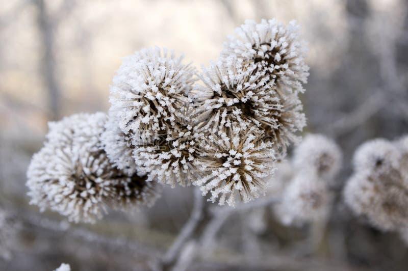 Arctium lappa bedeckt mit Raureif, eisiger Wintertag stockbilder