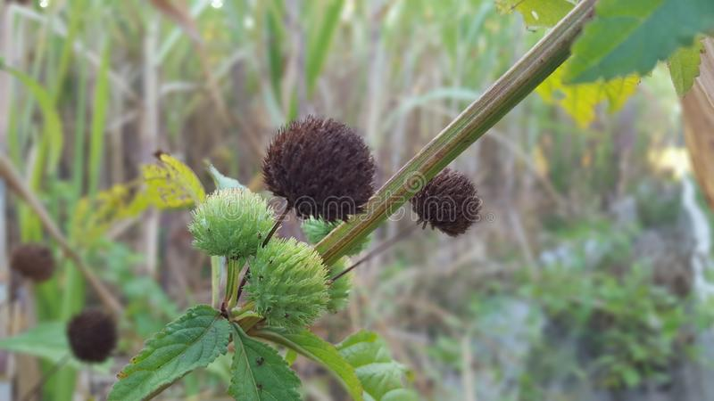 Arctium minus, commonly known as lesser burdock, little burdock, louse-bur, common burdock, button-bur, cuckoo-button, or wild rhu. Barb, is a biennial plant royalty free stock image