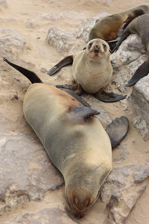 arctocephalus foki futerkowe pusillus foki zdjęcia stock