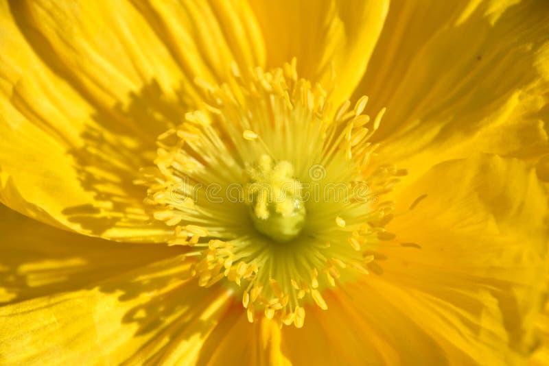 Arctomecon merriamii, żółty makowy makro- zdjęcia royalty free