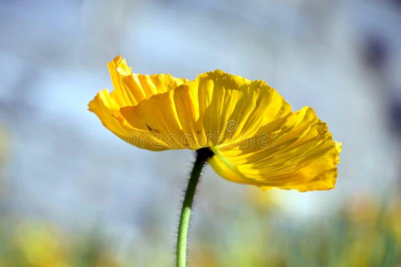 Arctomecon merriamii, żółty makowy zakończenie spod spodu fotografia royalty free