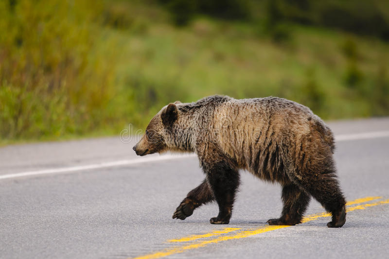 arctos熊北美灰熊horribilis熊属类 免版税库存图片