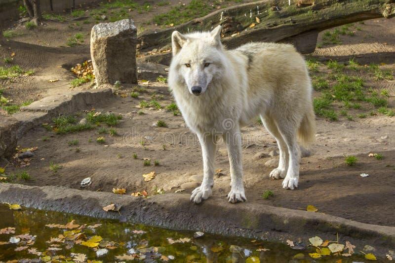 Arctos blancs arctiques de lupus de Wolf Canis regardant l'appareil-photo un jour d'automne images stock