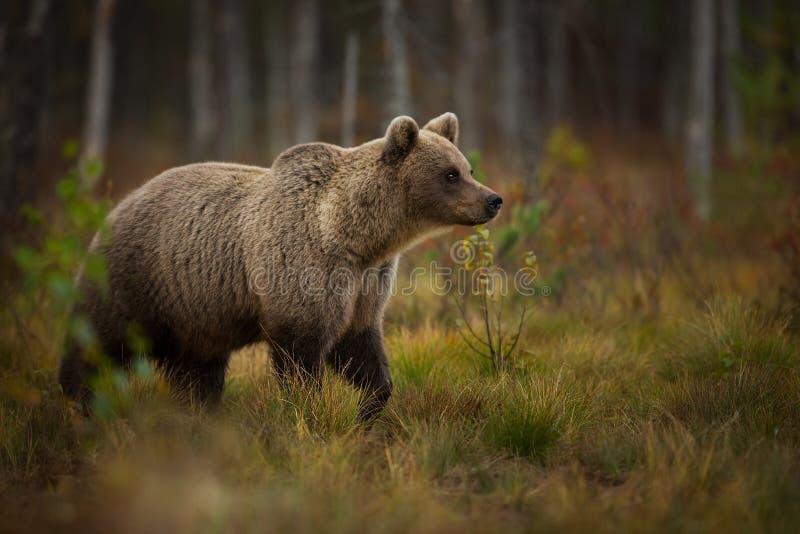 Arctos d'Ursus L'ours brun est le plus grand prédateur en Europe photographie stock libre de droits