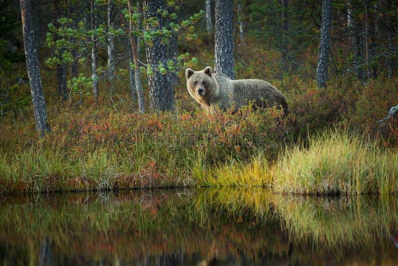 Arctos del Ursus El oso marrón es el depredador más grande de Europa fotos de archivo