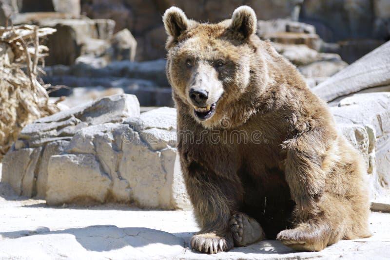 Arctos del Ursus del oso de Brown imagen de archivo