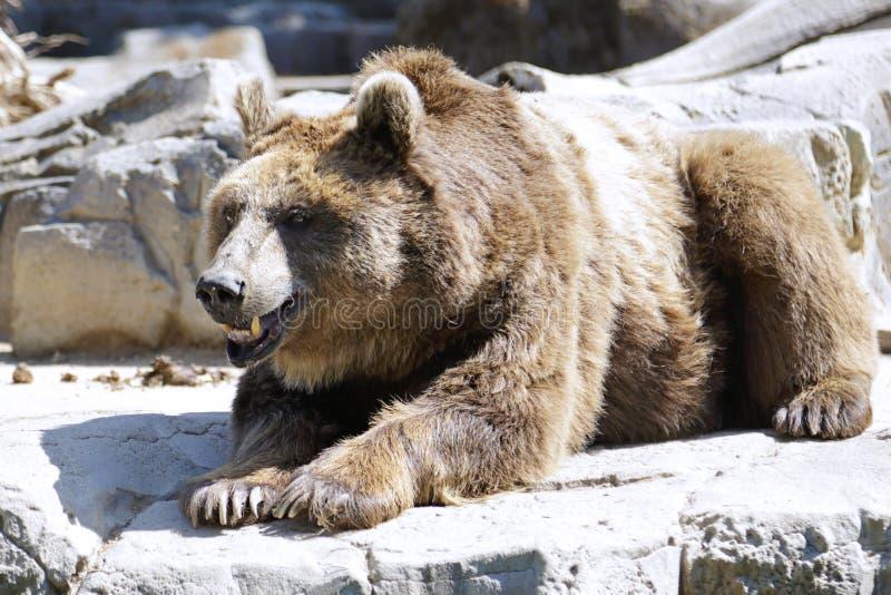Arctos del Ursus del oso de Brown fotografía de archivo libre de regalías