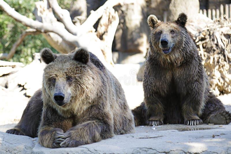 Arctos del Ursus del oso de Brown imágenes de archivo libres de regalías