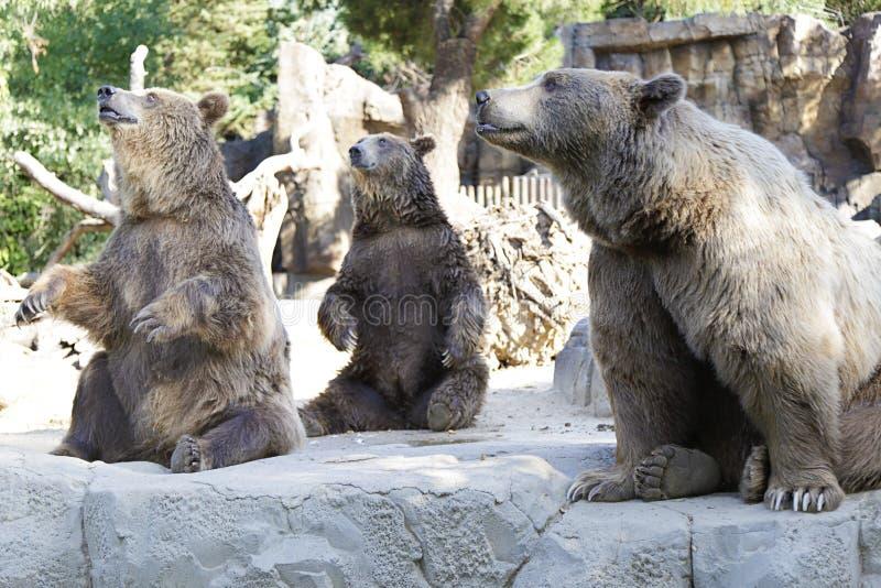 Arctos del Ursus del oso de Brown foto de archivo libre de regalías