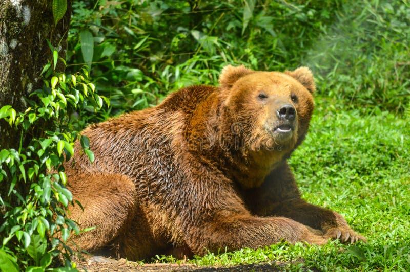 Arctos di ursus che si siedono sull'erba verde fotografia stock