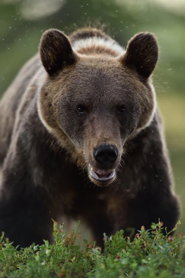 Arctos di ursus dell'orso bruno in una foresta fotografie stock libere da diritti