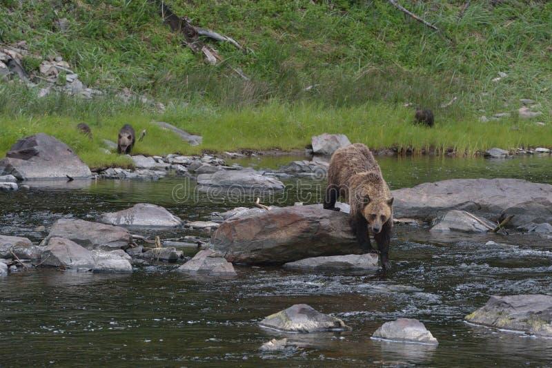 Arctos di ursus di orsa con tre cuccioli fotografie stock